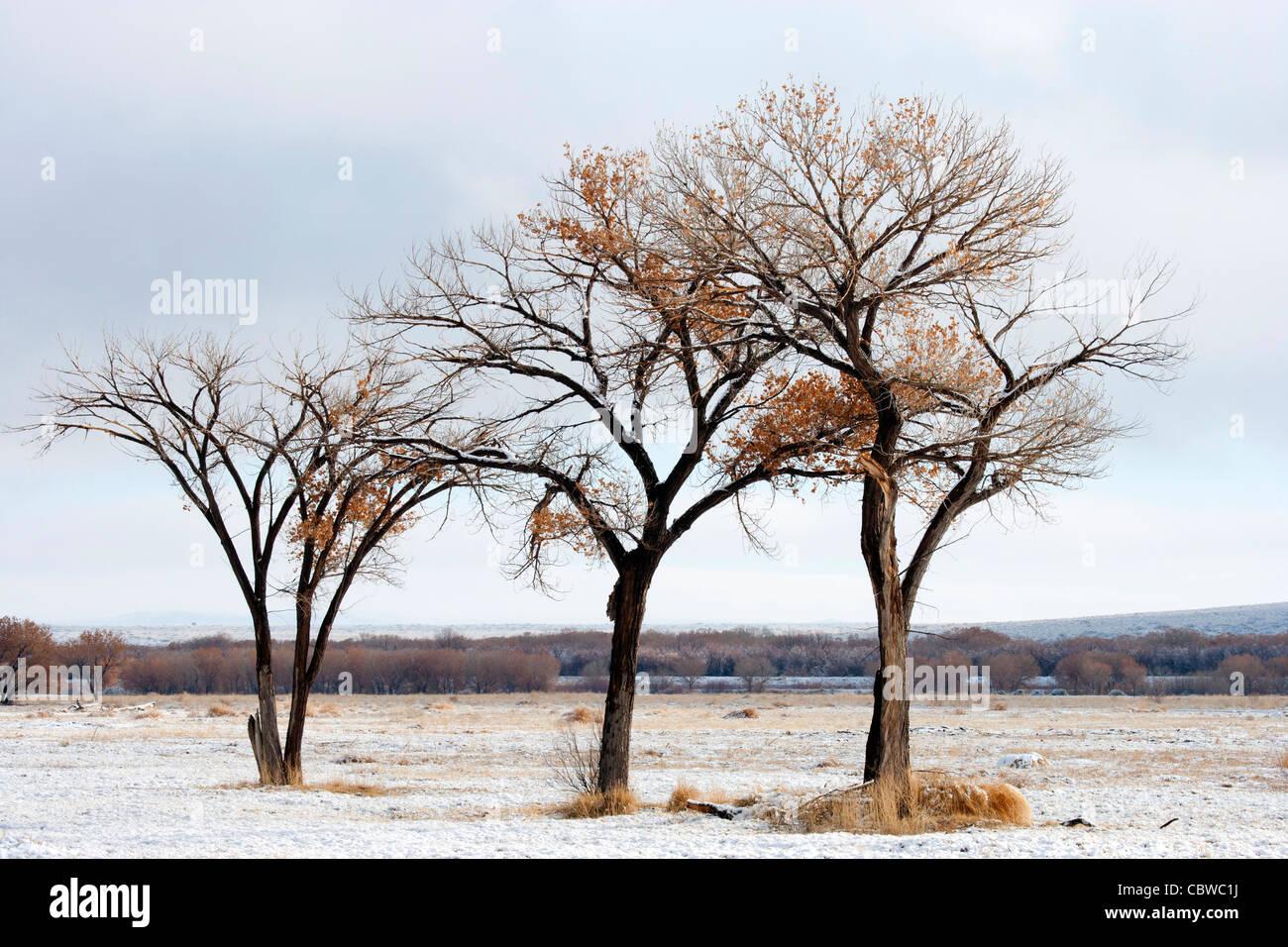 Tre quasi nuda alberi pioppi neri americani Immagini Stock