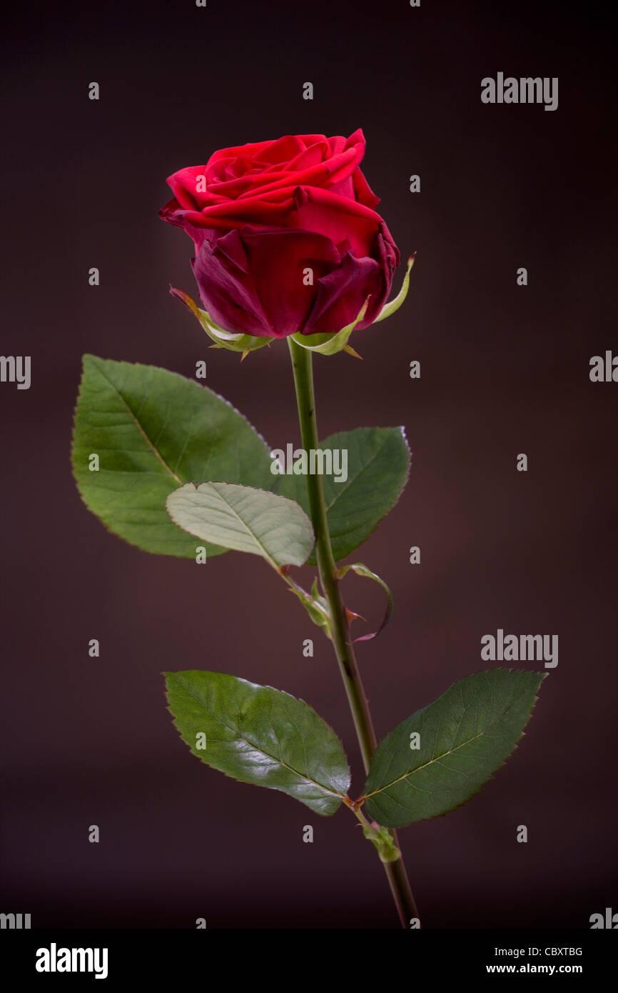 Rosa Rossa close-up Immagini Stock