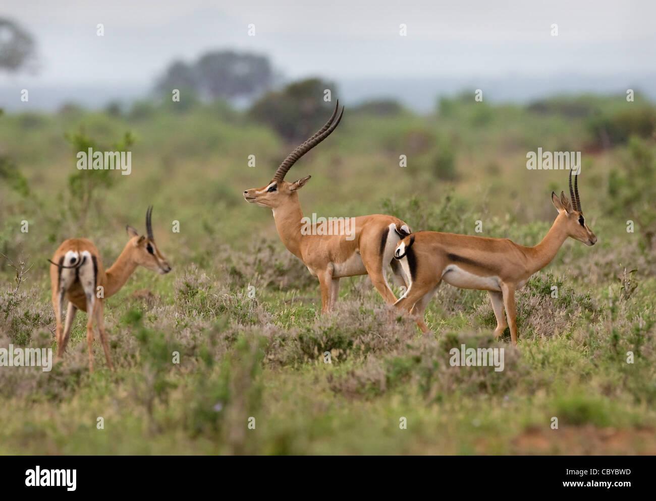 Maschio della sovvenzione gazzella Nanger granti e due femmine in Tsavo National Park in Kenya Immagini Stock