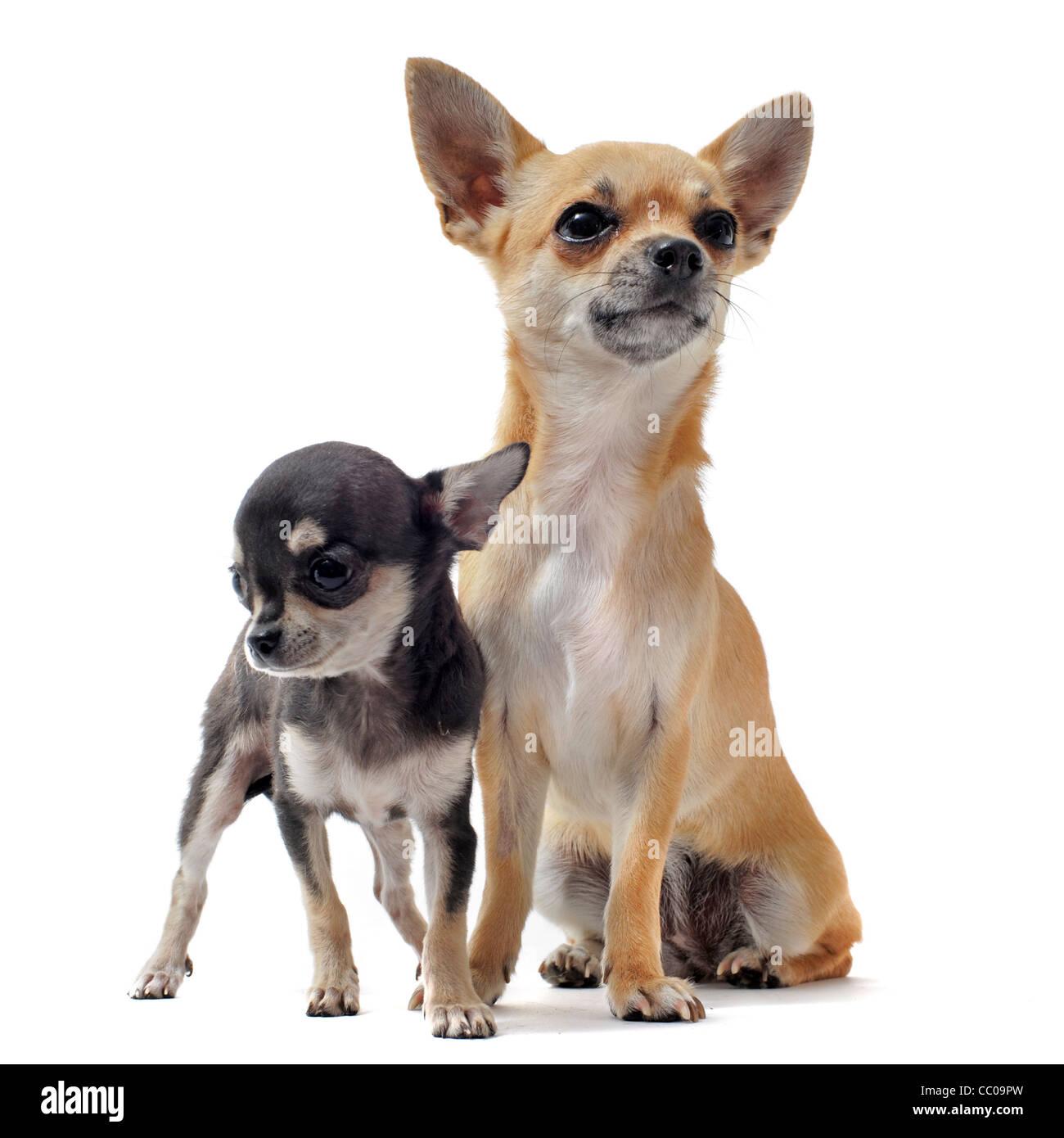 Ritratto Di Un Grazioso Cucciolo Di Razza Chihuahua E Sua Madre Di
