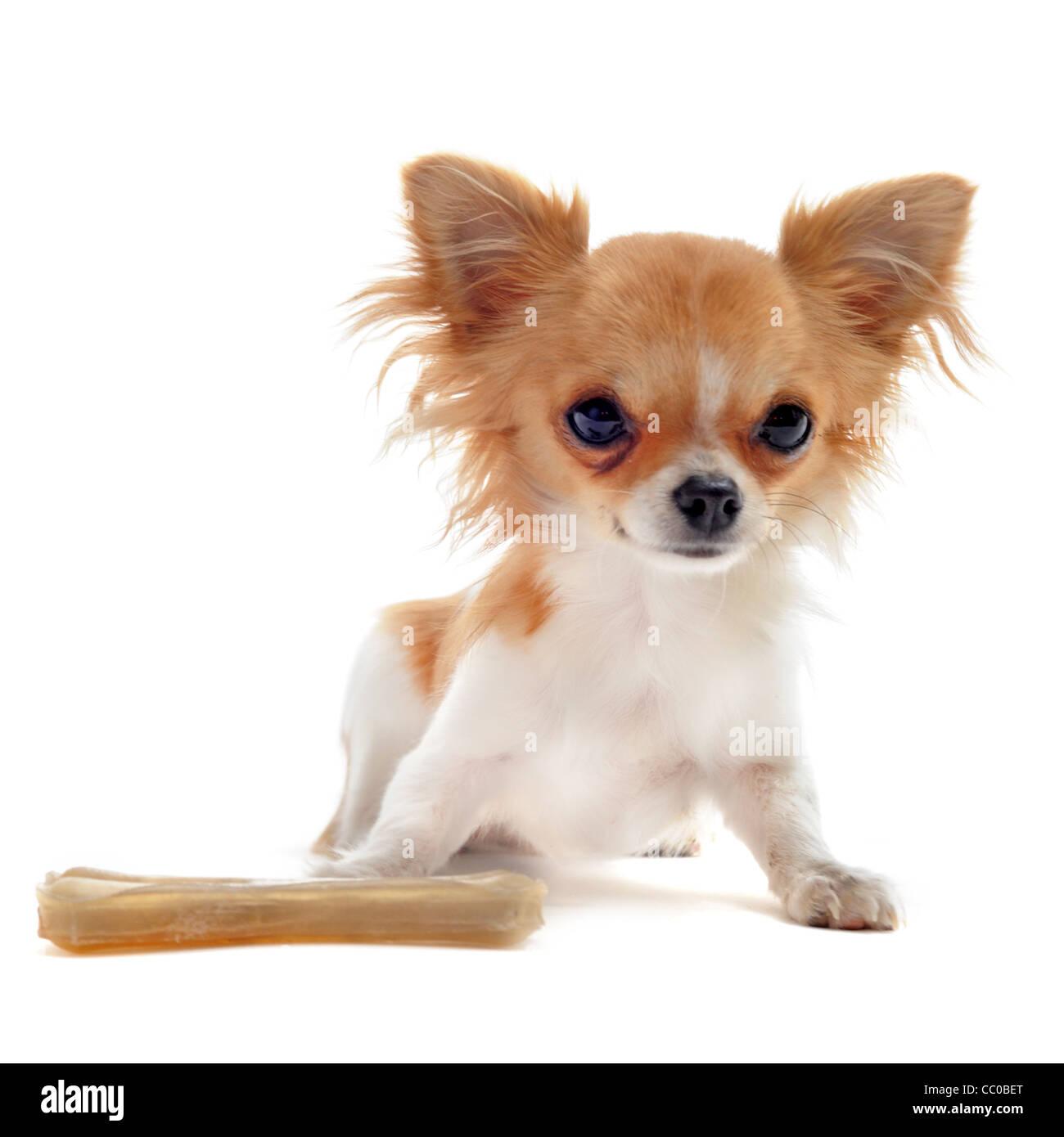 Ritratto Di Un Grazioso Cucciolo Di Razza Chihuahua Con Osso Di