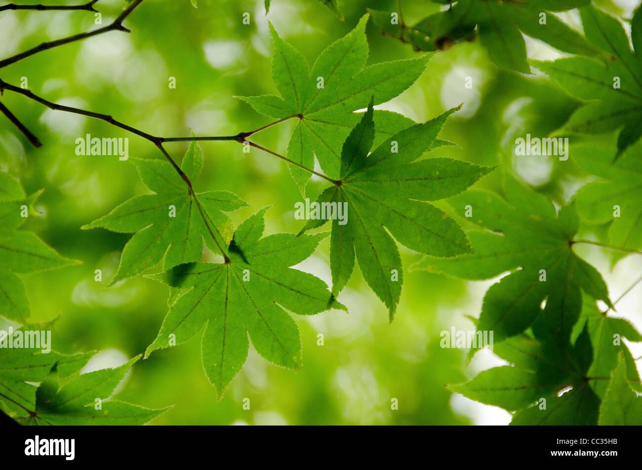 Un ramo di Verde foglie di acero come struttura di sfondo Immagini Stock
