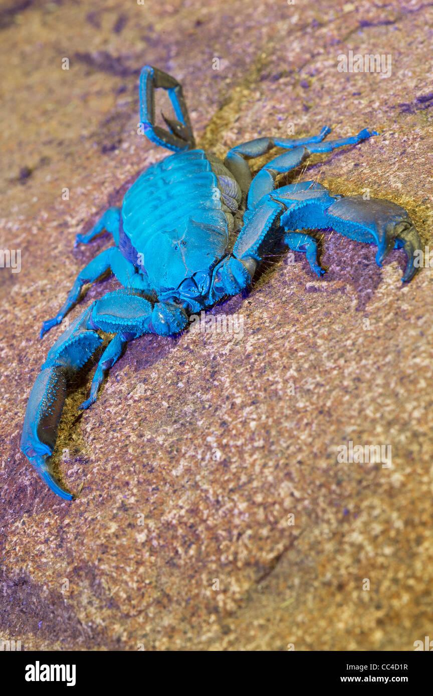 Una pietra piatta scorpion sotto una luce ultra violetta Immagini Stock