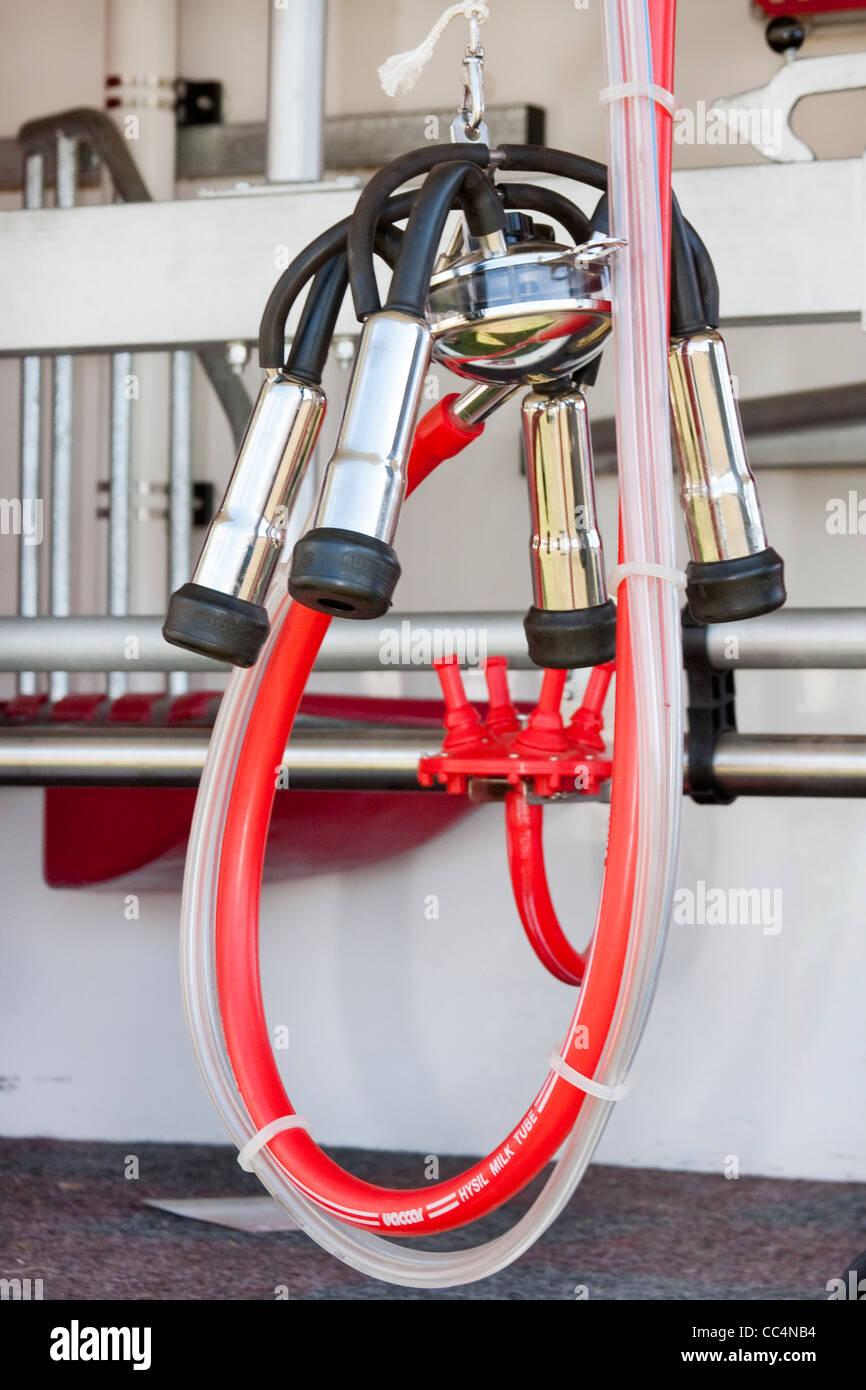 Bovini Impianti di mungitura ventose con colore rosso brillante tubing Immagini Stock