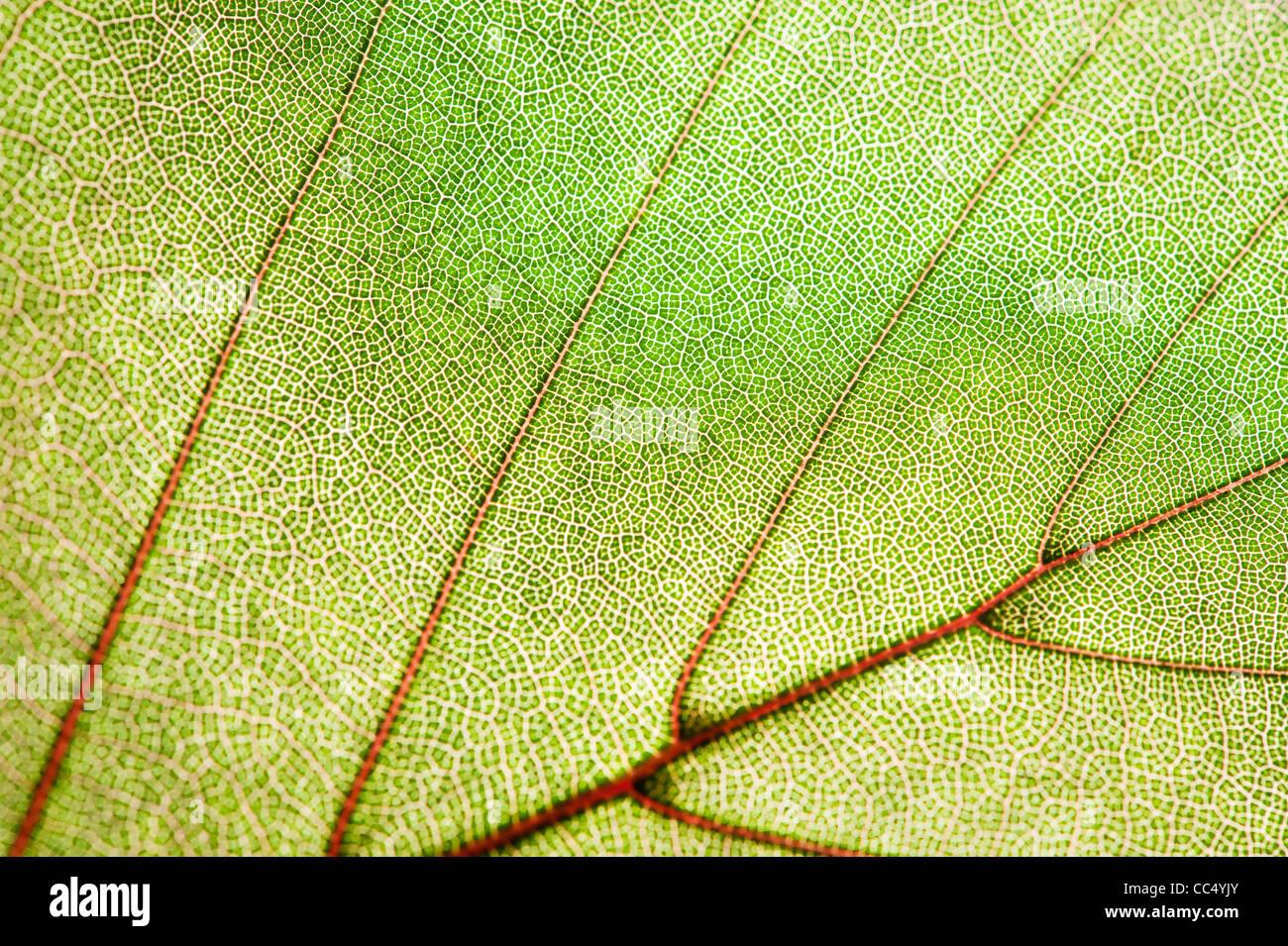 Foglia verde texture Immagini Stock