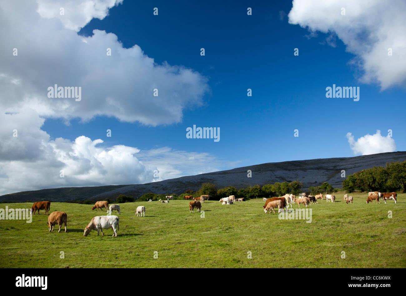 Il pascolo di bestiame in un campo, Burren, County Clare, Irlanda. Immagini Stock