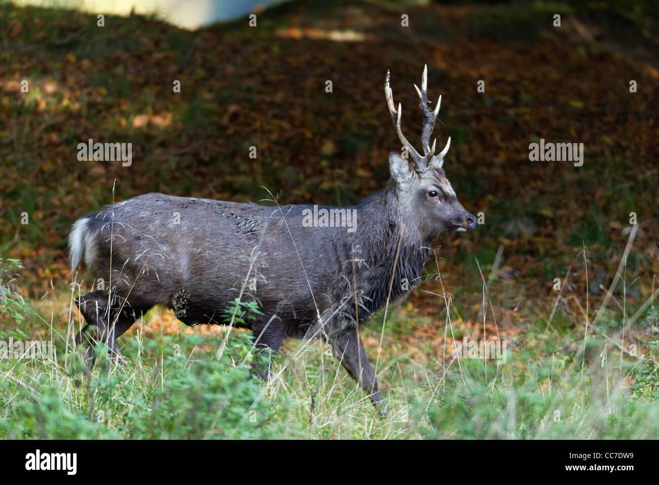 Sika cervo (Cervus nippon), feste di addio al celibato, Royal Deer Park , Klampenborg, Copenaghen, Sjaelland, Danimarca Immagini Stock