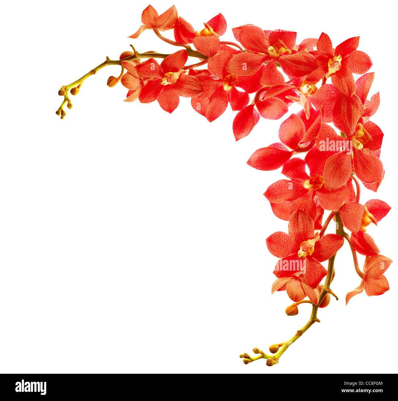 Red freschi di fiori di orchidea border isolati su sfondo bianco Foto Stock