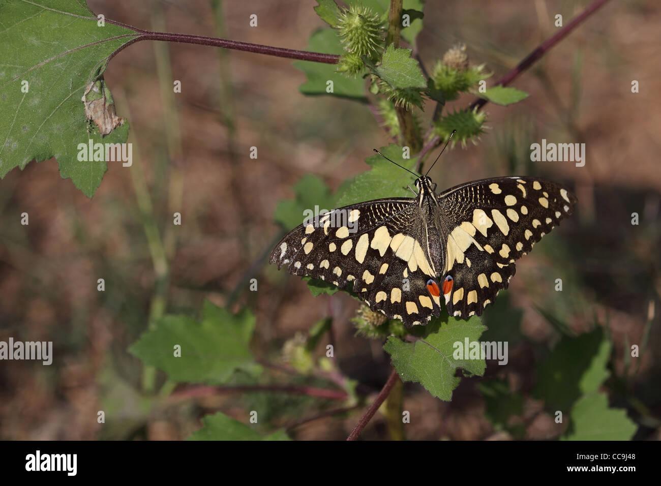 Lime Butterfly (Papilio demoleus) Immagini Stock