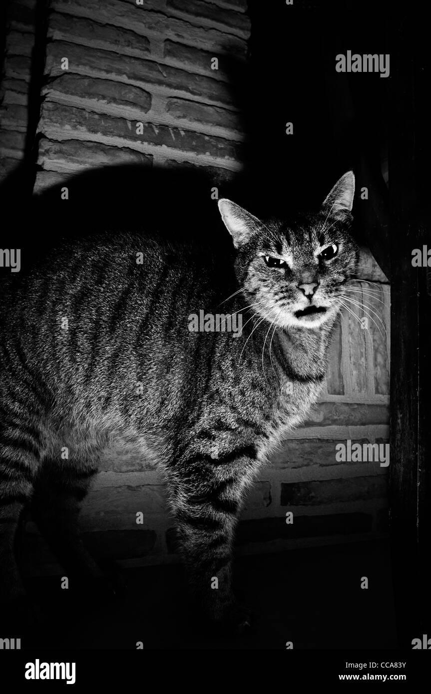 Gatto domestico Immagini Stock