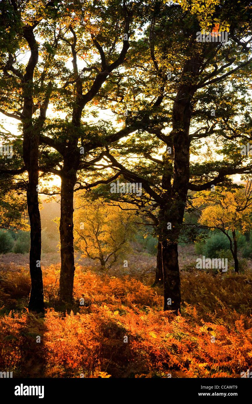 Luce della Sera in autunno il legno di quercia, Erriff boschi, County Mayo, Irlanda. Immagini Stock