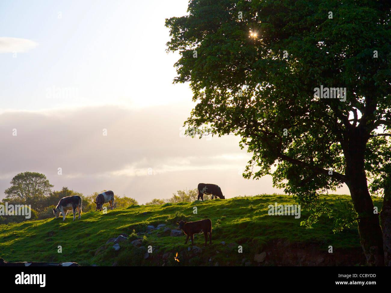 Di sera il pascolo di bestiame in un campo della contea di Mayo, Irlanda. Immagini Stock