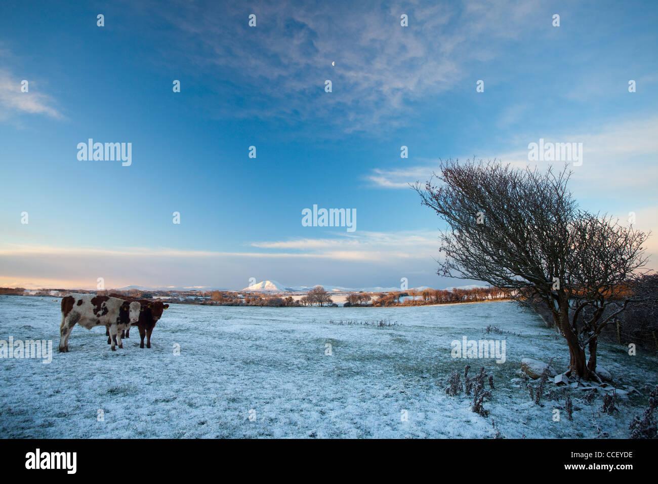 Inverno bovini, nella contea di Sligo, Irlanda. Immagini Stock