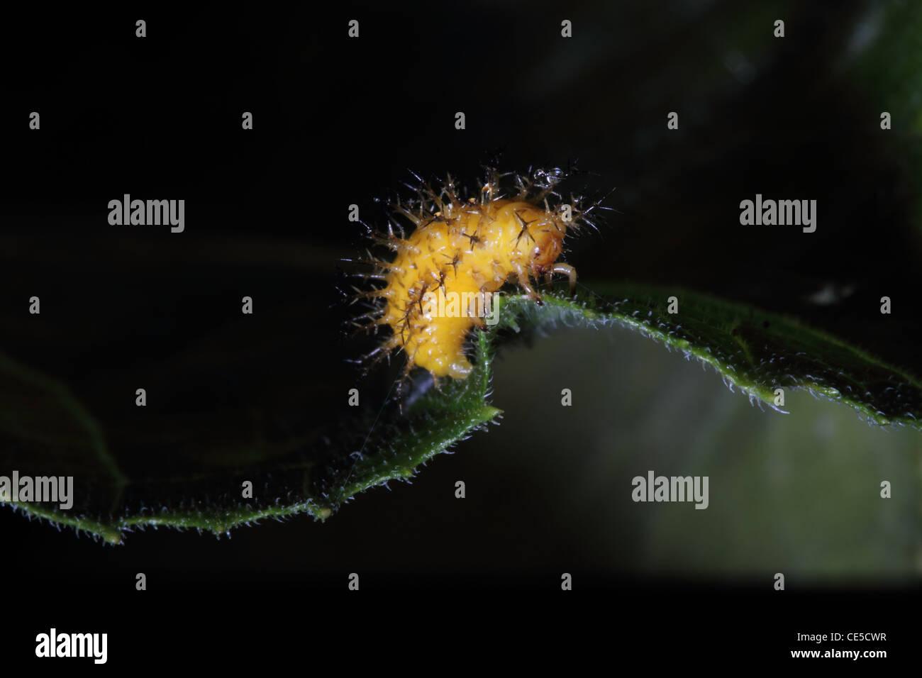 4e6b03857d3c 28-tipo Potato Coccinella - Epilachna vigintioctopunctata (sinonimo  Henosepilachna vigintioctopunctata) larva · Gerry Pearce / Alamy Foto Stock