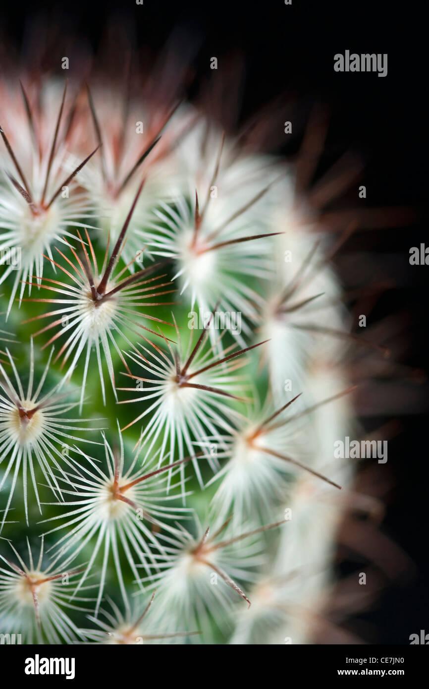 Puntaspilli cactus, Mammillaria microhelia, Close up di verde di piante succulente con punte aguzze contro uno sfondo Immagini Stock