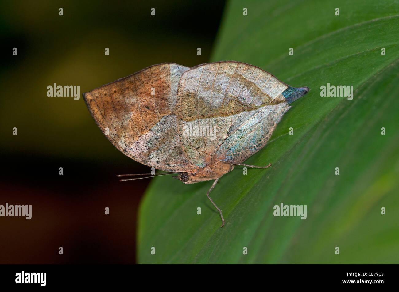 Indian Leafwing, Kallima paralekta, il colore e la forma delle alette di chiusura ressemble notevolmente una foglia Immagini Stock