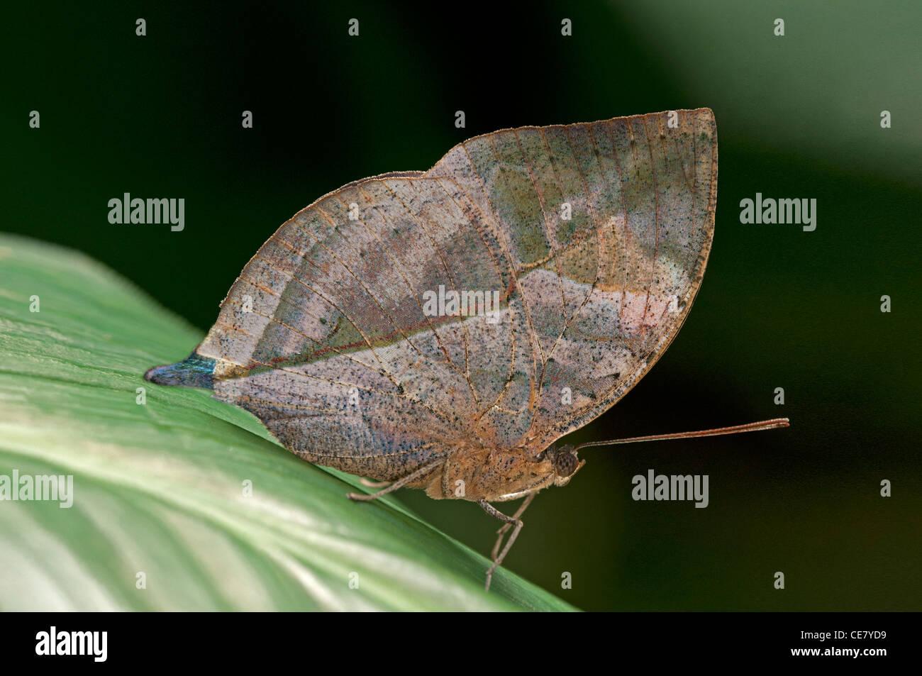 Indian Leafwing, Kallima paralekta, il colore e la forma delle alette di chiusura ressemble una foglia morta, Phuket, Immagini Stock