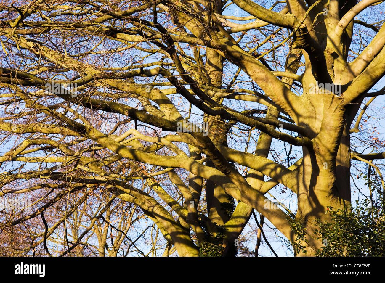 Fagus sylvatica in inverno. Il sole d'inverno sui rami di un albero del faggio. Immagini Stock