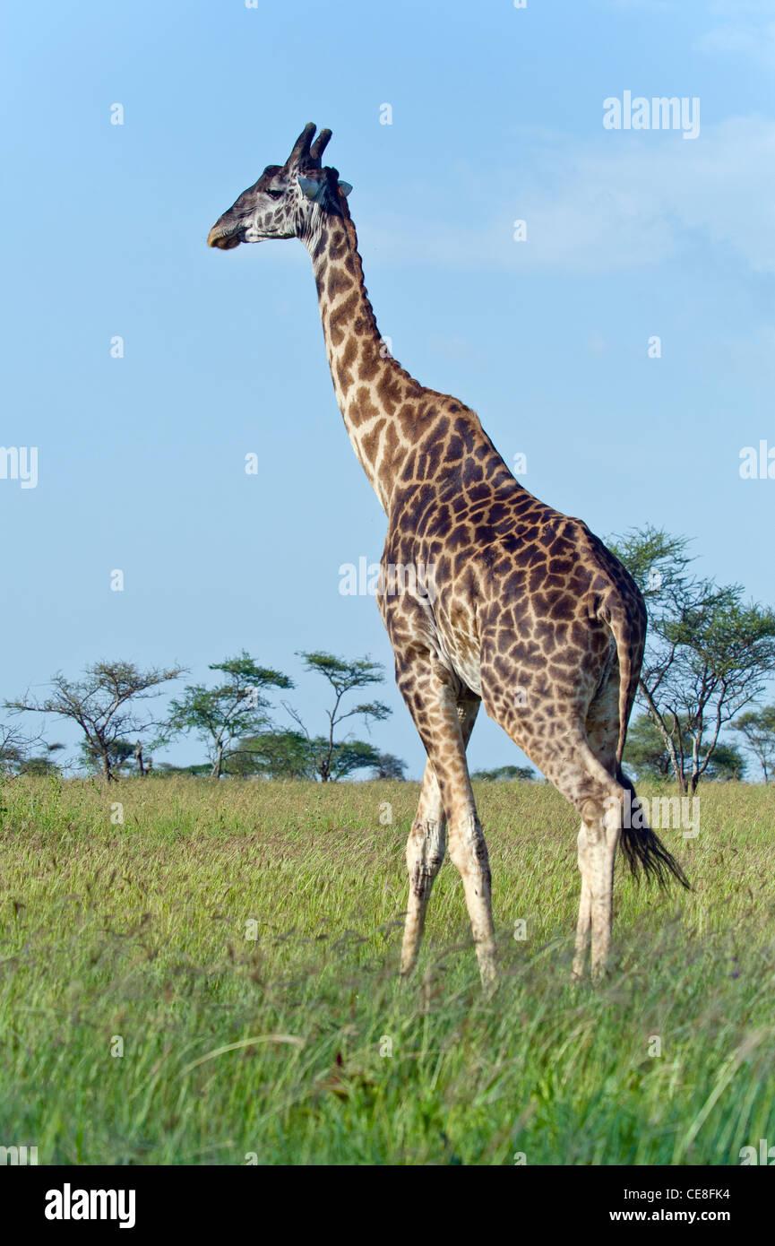 Uganda Giraffa Giraffa camelopardalis rothschildi a Seronera nel Serengeti, Tanzania Immagini Stock