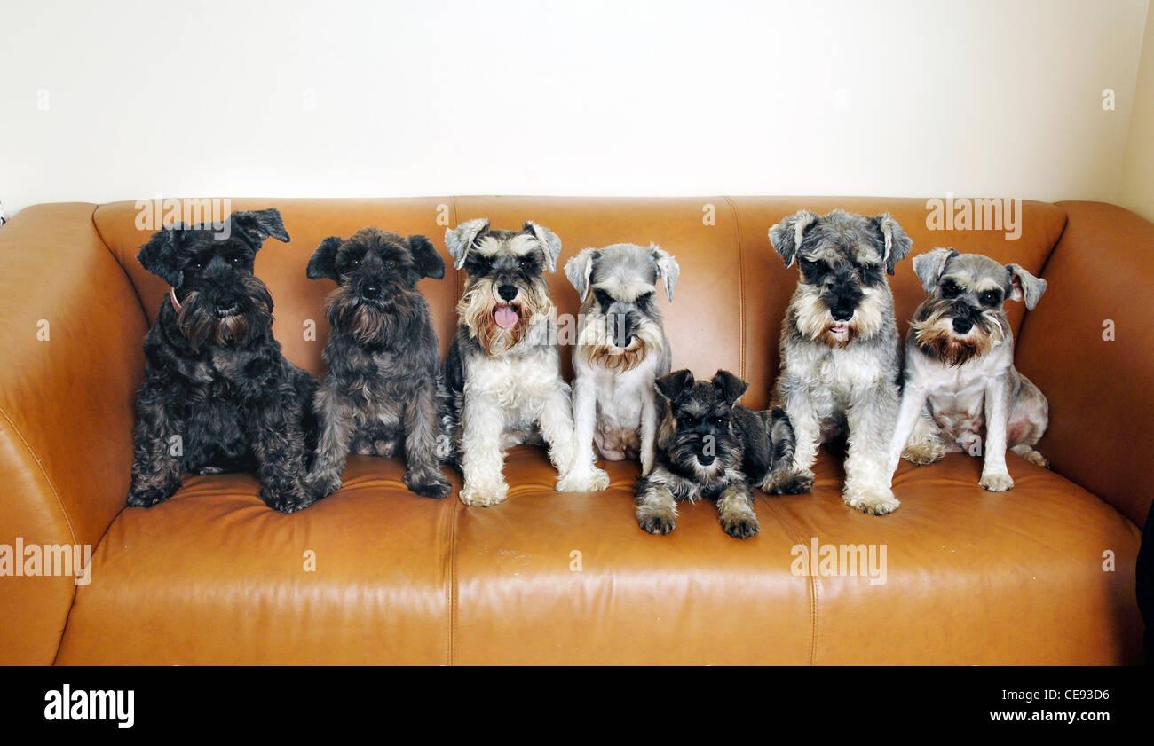 Gruppo familiare di miniatura schnauzer cani seduti sul divano, bexleyheath, Regno Unito Immagini Stock