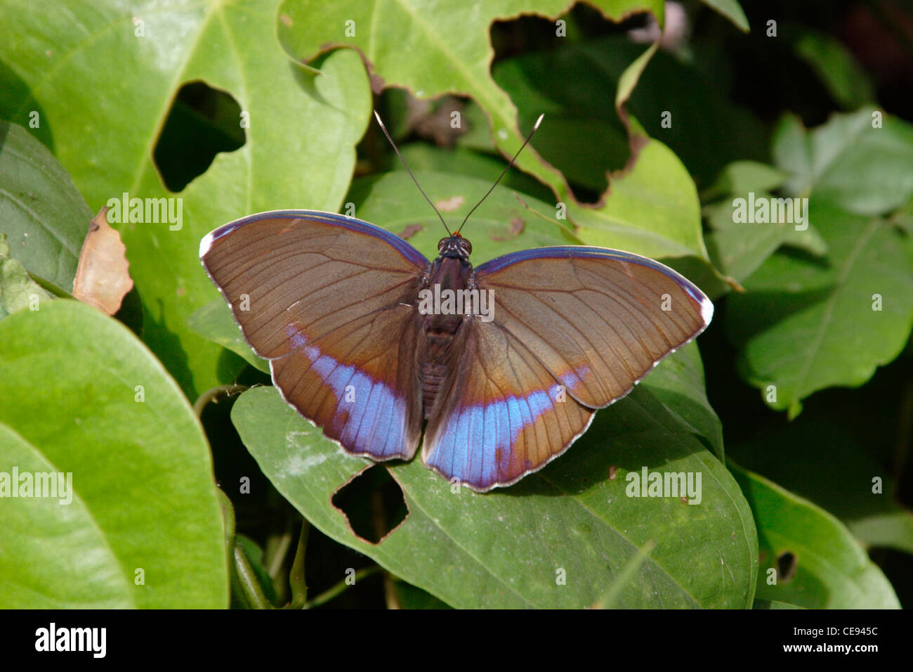 Diritto Hindwing Butterfly (Euphaedra harpalyce : Nymphalidae) maschio nella foresta pluviale, Ghana. Blu-nastrare Immagini Stock