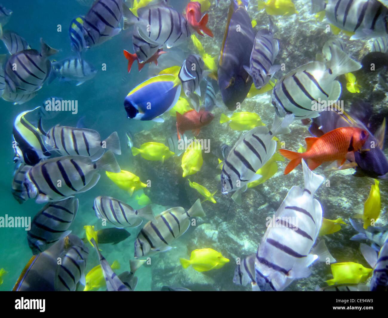 Varietà di pesci tropicali. Hawaii, la Big Island Immagini Stock
