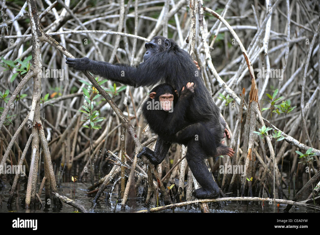 Uno scimpanzé con un cucciolo. La scimpanzé con un cub su radici boschetti di mangrovie Immagini Stock