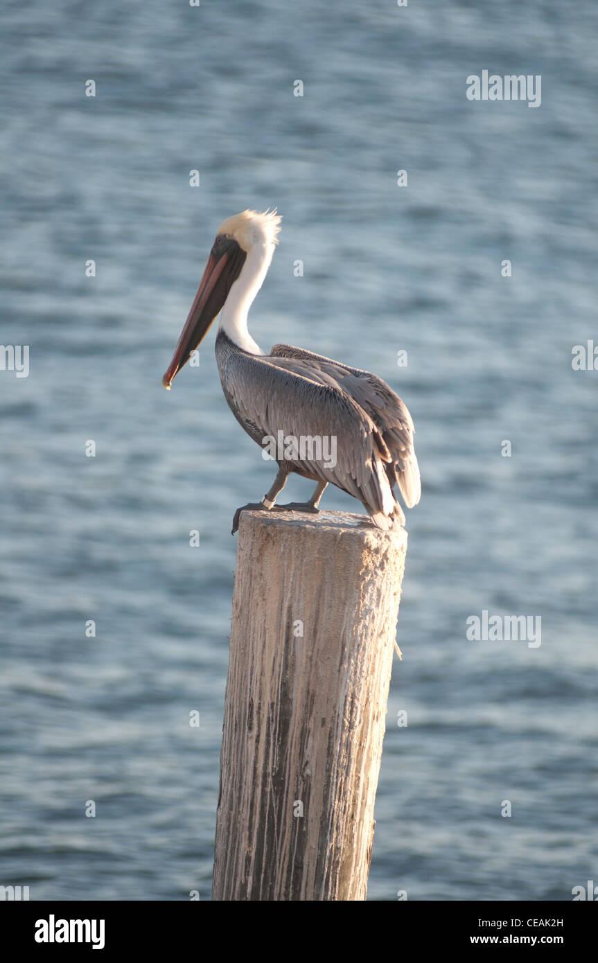 Brown Pelican, Pelecanus occidentalis, polo permanente di Pier One, San Pietroburgo, Golfo del Messico, Florida, Immagini Stock