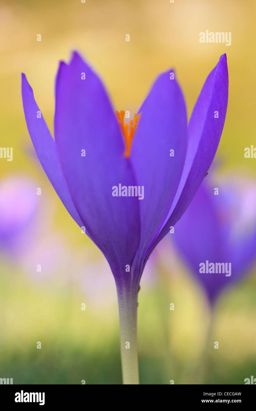 Crocus selvatici (Crocus nudiflorus) fioritura. Posets-Maladeta parco naturale. Pirenei. Huesca. Aragona. Spagna. Immagini Stock