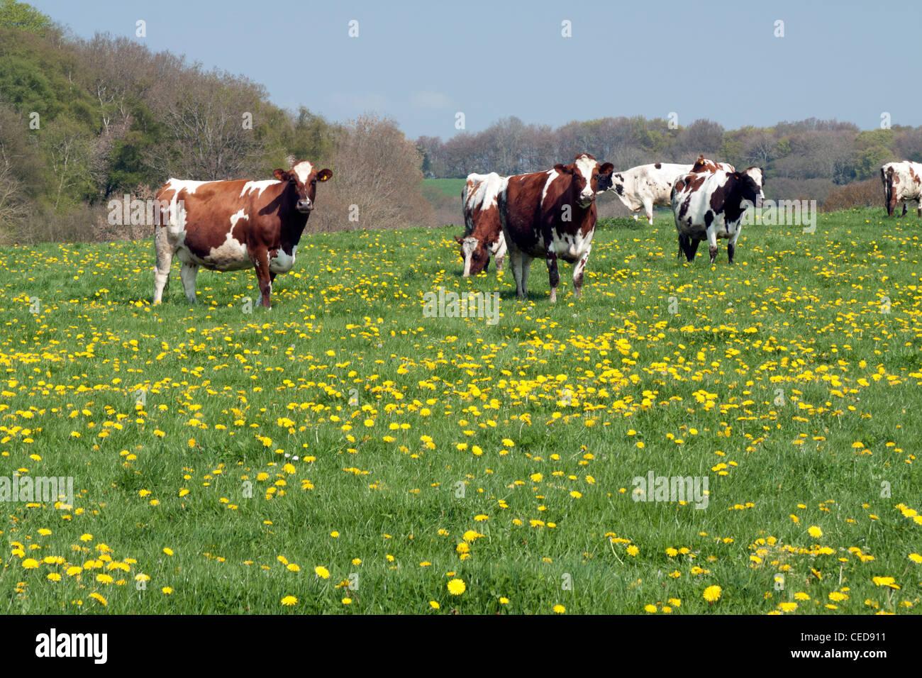 Ayrshire bovini in un prato pieno di tarassaco vicino Fovant nel Wiltshire. Immagini Stock