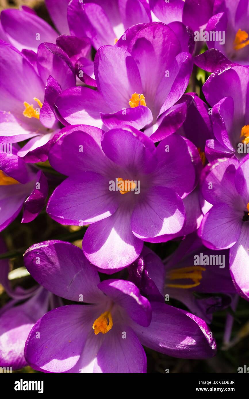 Groppa di molla viola crocus o crocus vernus fioritura al sole in vista ravvicinata Immagini Stock