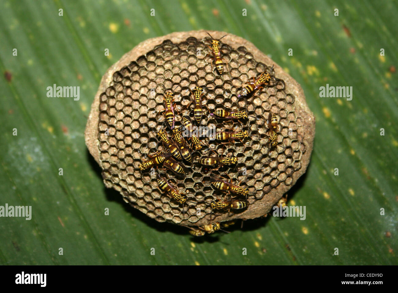 Circolare nido di vespe, Costa Rica Immagini Stock
