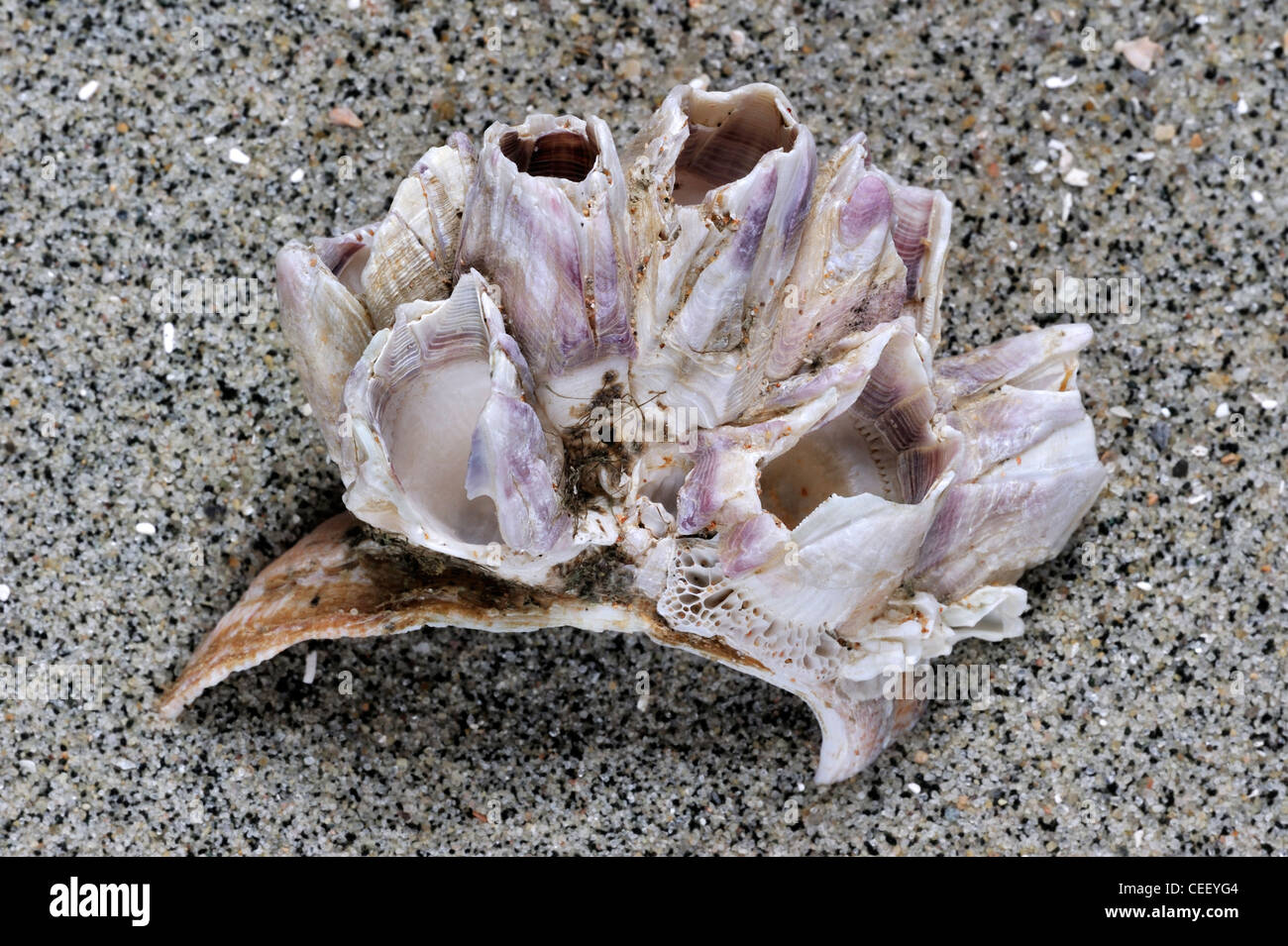 American slipper limpet (Crepidula fornicata) shell sulla spiaggia con Acorn barnacles (Megabalanus tintinnabulum) crescente su di esso Foto Stock
