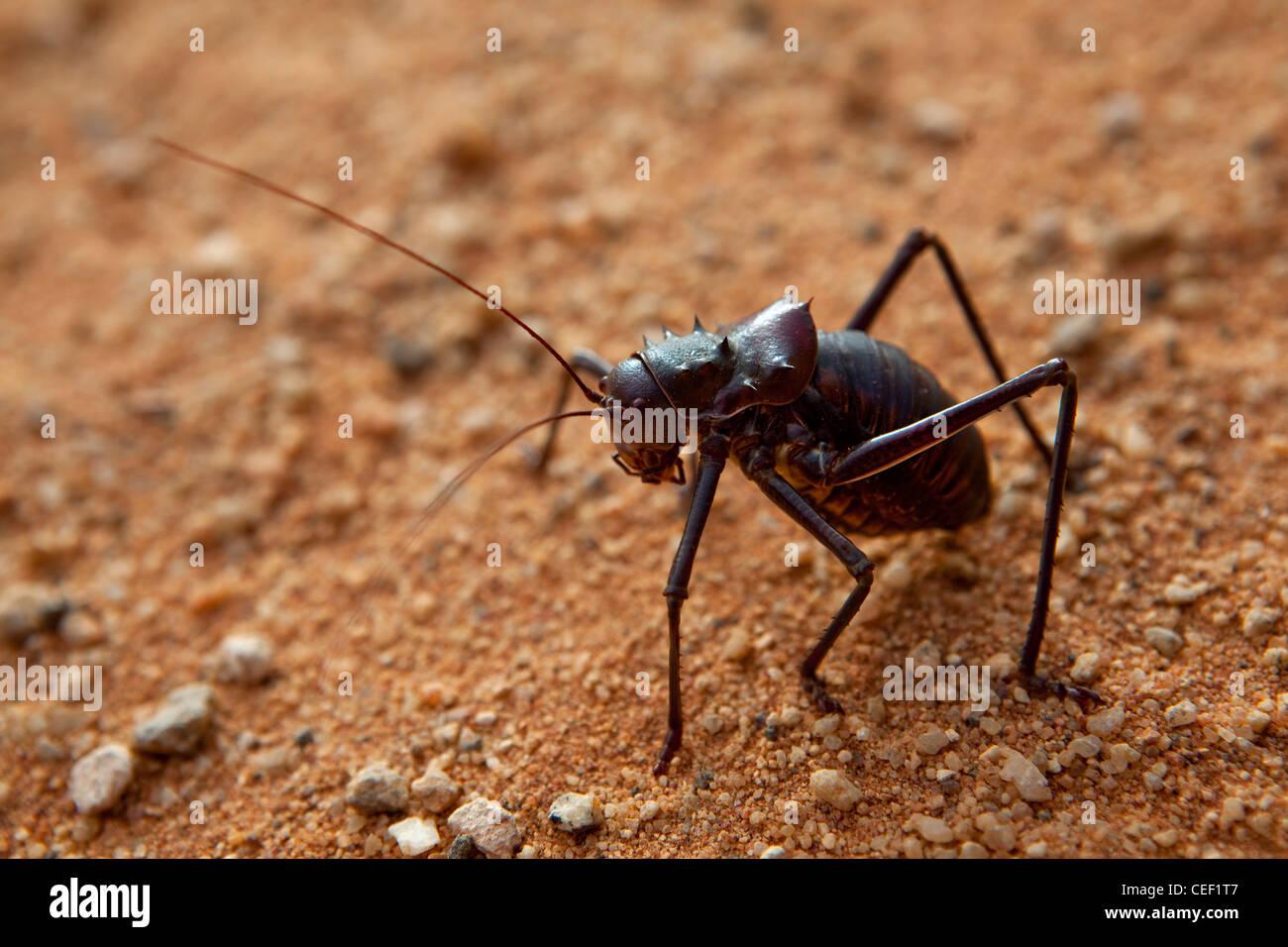Dune Cricket, Deserto Kalahari, Namibia, Africa Immagini Stock