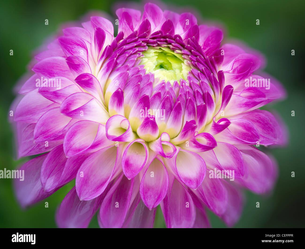 Close up Dahlia varietà giardino di prova. Oregon Immagini Stock