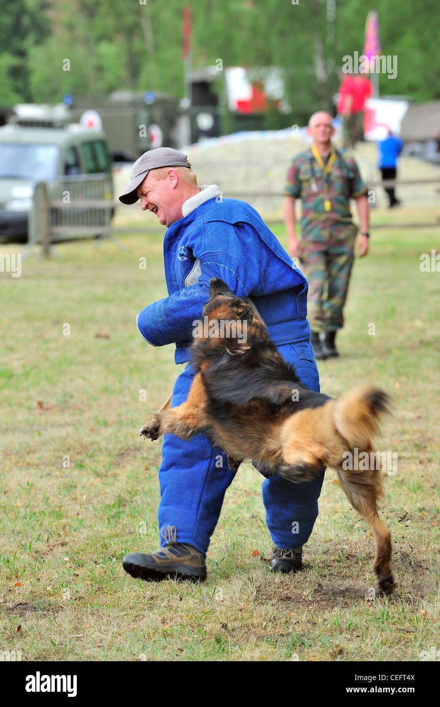 Mordere pastore belga cane / Malinois, attaccando l'uomo in abbigliamento protettivo durante la sessione di Immagini Stock