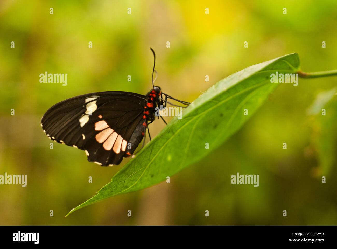 Una farfalla tropicale su una foglia verde. Sfondo verde. Immagini Stock