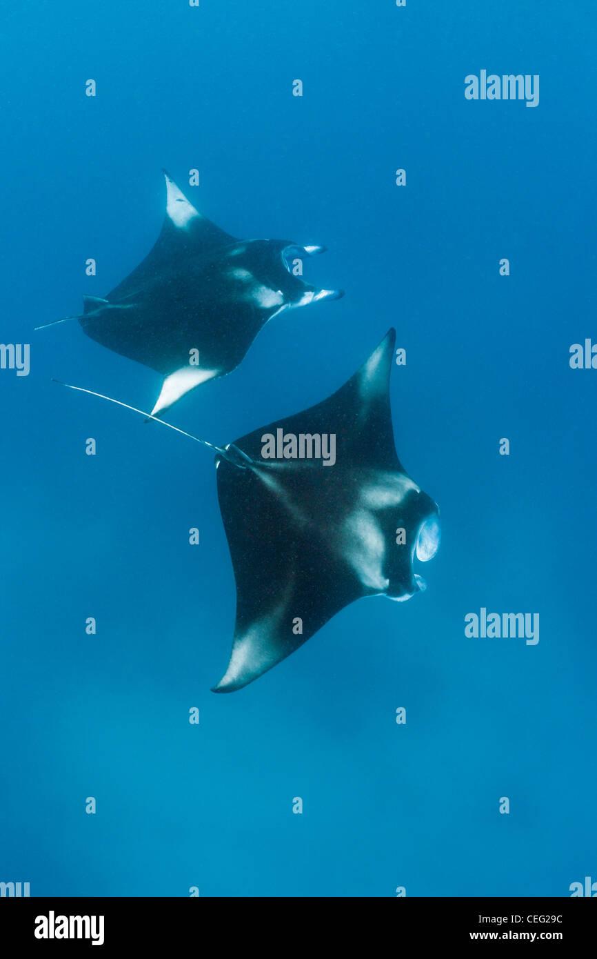 Due Manta, Manta birostris, Hanifaru Bay, Baa Atoll, Maldive Immagini Stock