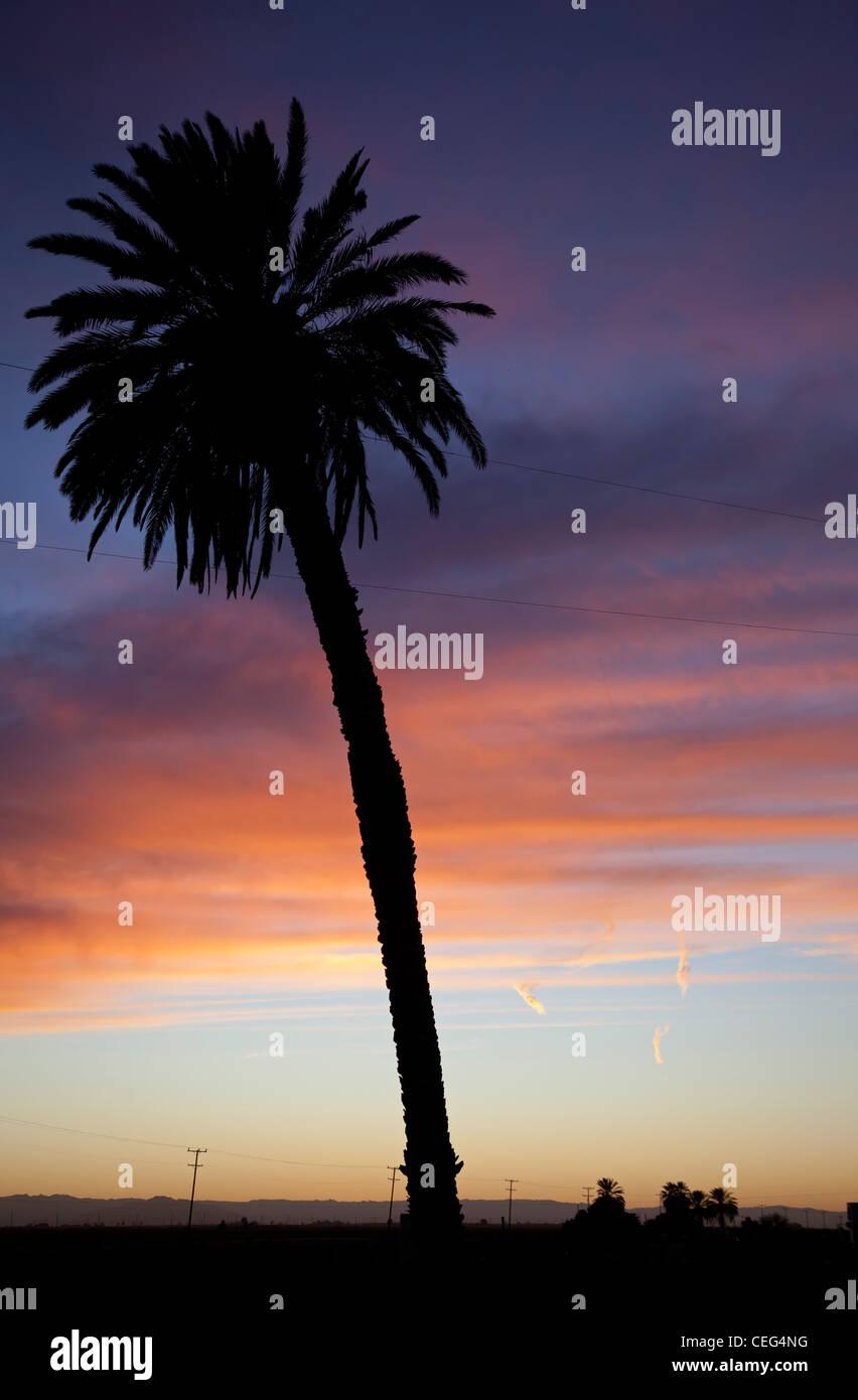 Holtville, California - una palma al tramonto nella Valle Imperiale. Immagini Stock