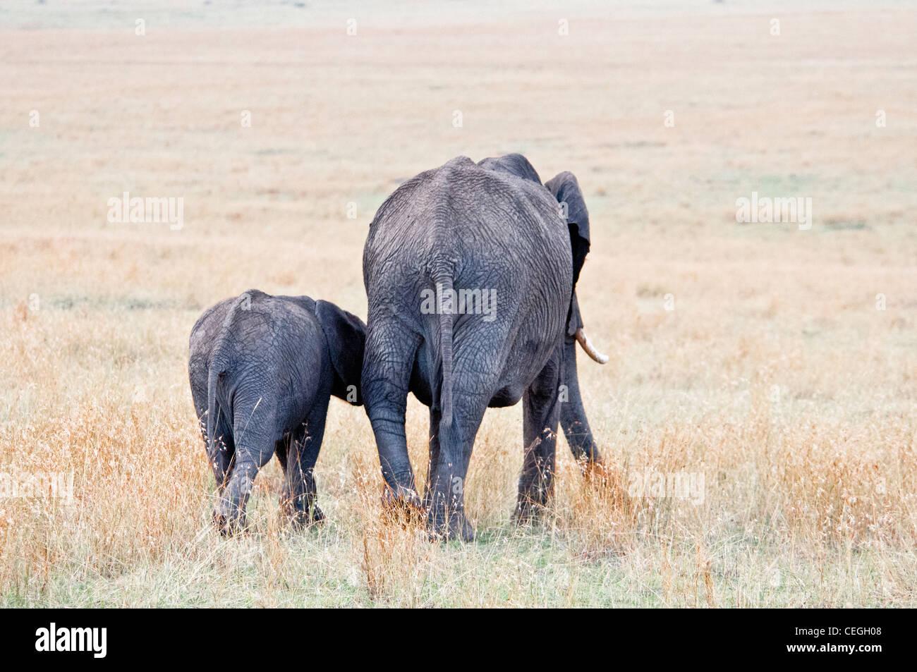 Baby Elefante africano a seguito della sua Madre, Loxodonta africana, il Masai Mara riserva nazionale, Kenya, Africa Immagini Stock