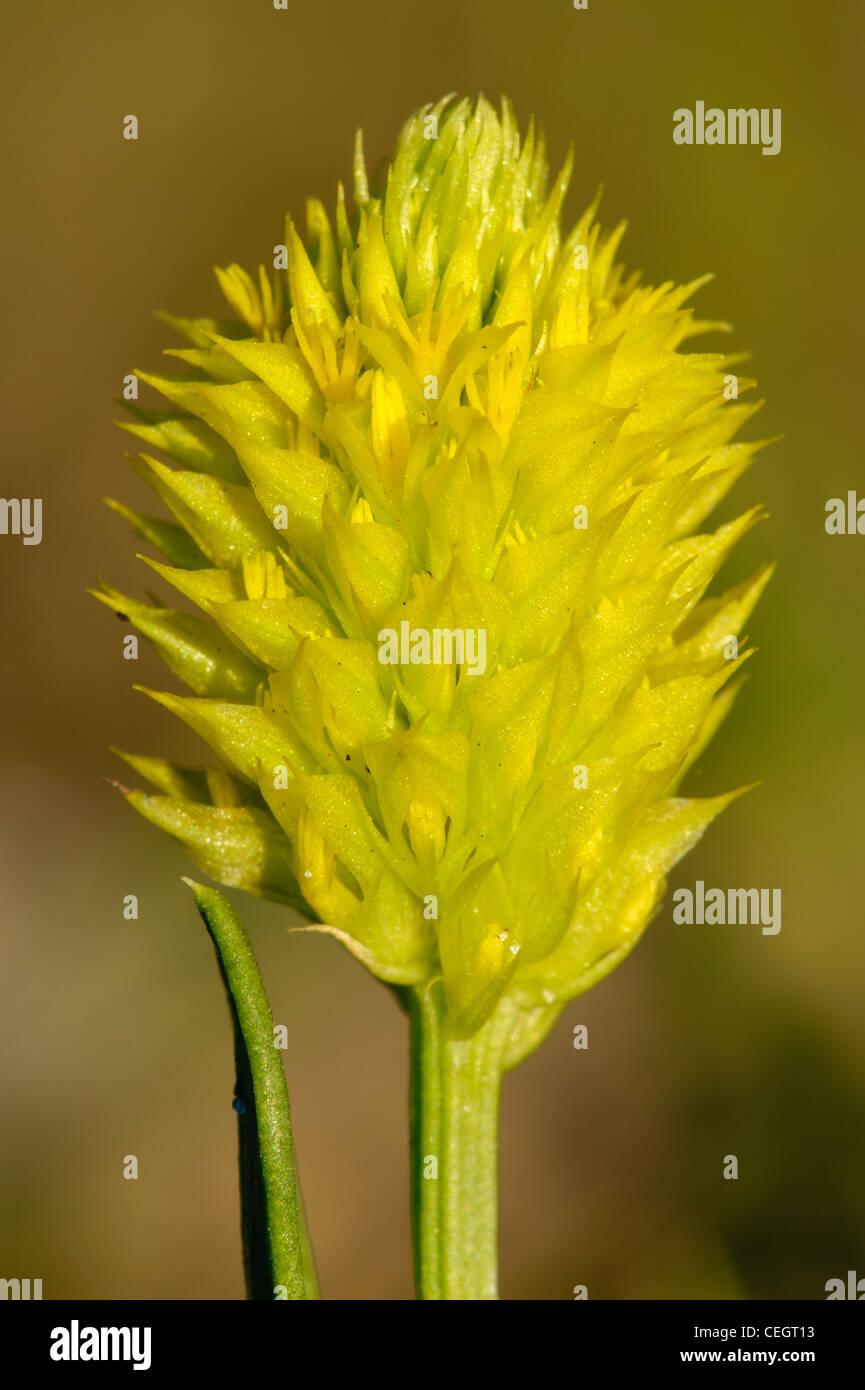 Wild laurea pulsante (Polygala nana) in Bloom, Okeechobee County, Florida Immagini Stock