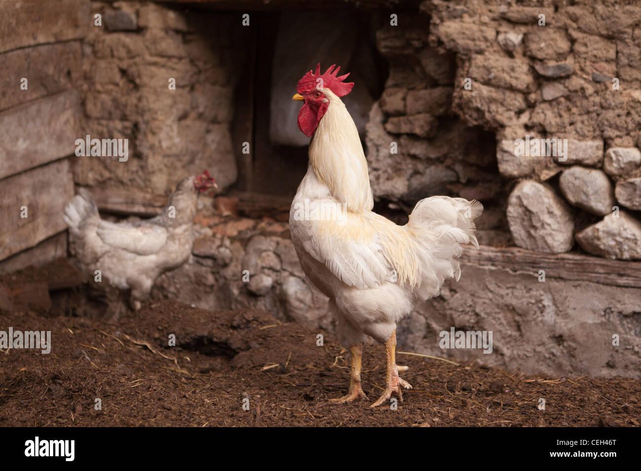 Libera rage fattoria di pollo-gallo bianco e una gallina Immagini Stock