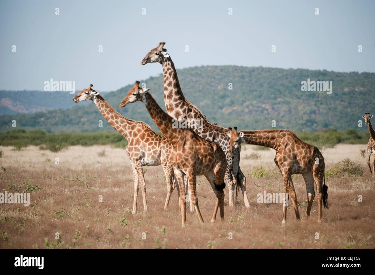 Allevamento di giraffe,Madikwe Game Lodge,nord ovest della provincia,nord ovest della provincia Immagini Stock