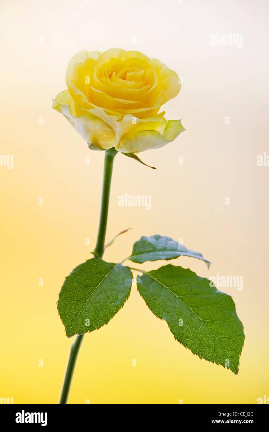 Rosa gialla close-up come fiore romantico Immagini Stock