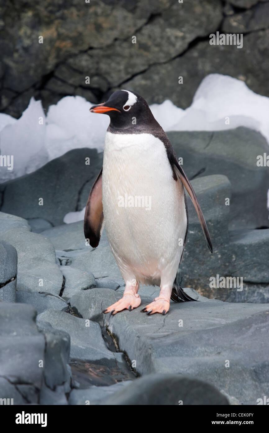 Pinguino Gentoo in piedi su una roccia in Antartide Foto Stock