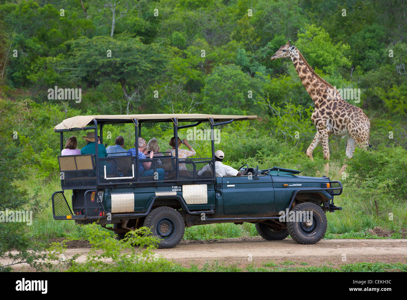 Persone in safari la visualizzazione del veicolo giraffe, la Hluhluwe Game Reserve, Sud Africa Immagini Stock