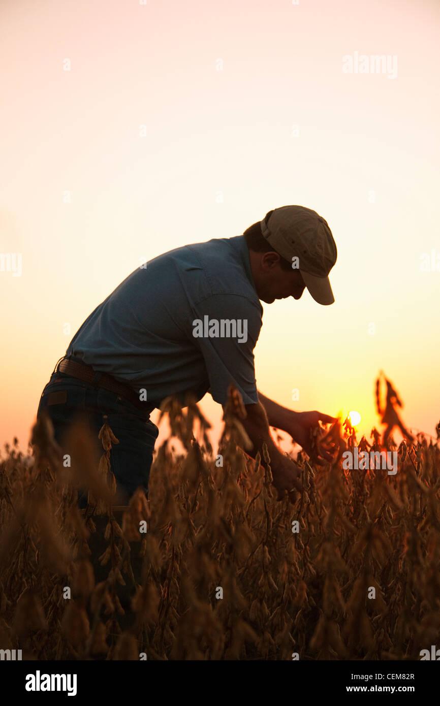 Agricoltura - un agricoltore (coltivatore) ispeziona il suo raccolto maturo pronto il raccolto di soia all'alba Immagini Stock