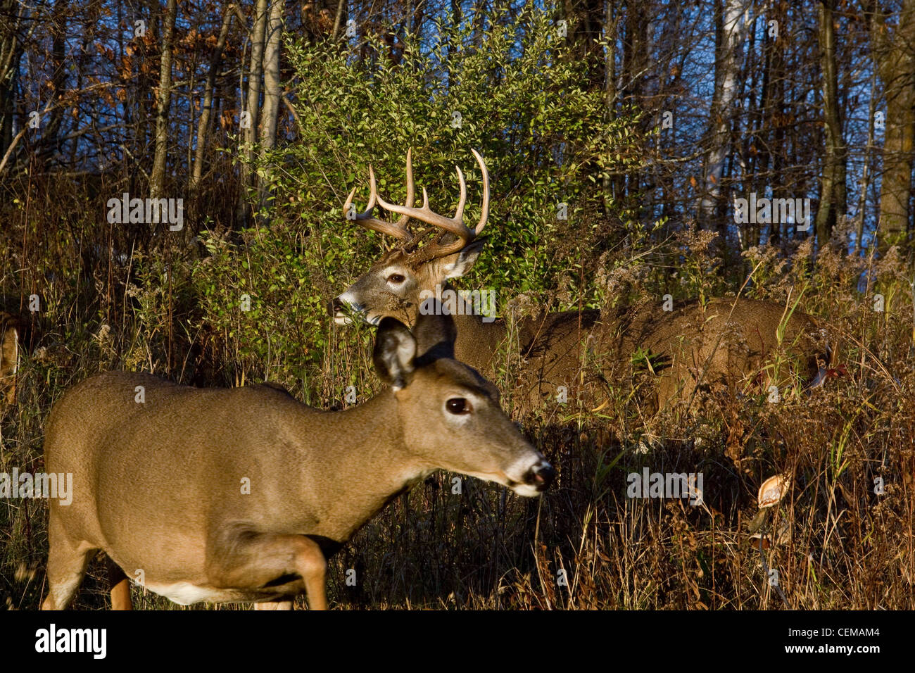 White-tailed doe cercando di sneak passato un buck durante la routine Immagini Stock