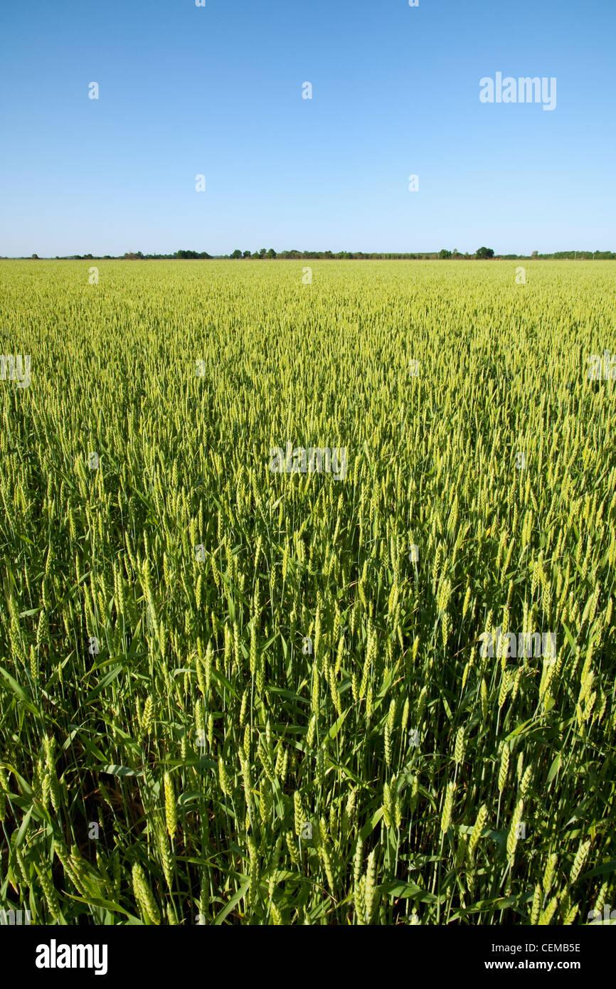 Campo di intitolato maturando la crescita media soft red winter di frumento a metà primavera. Questo raccolto Immagini Stock