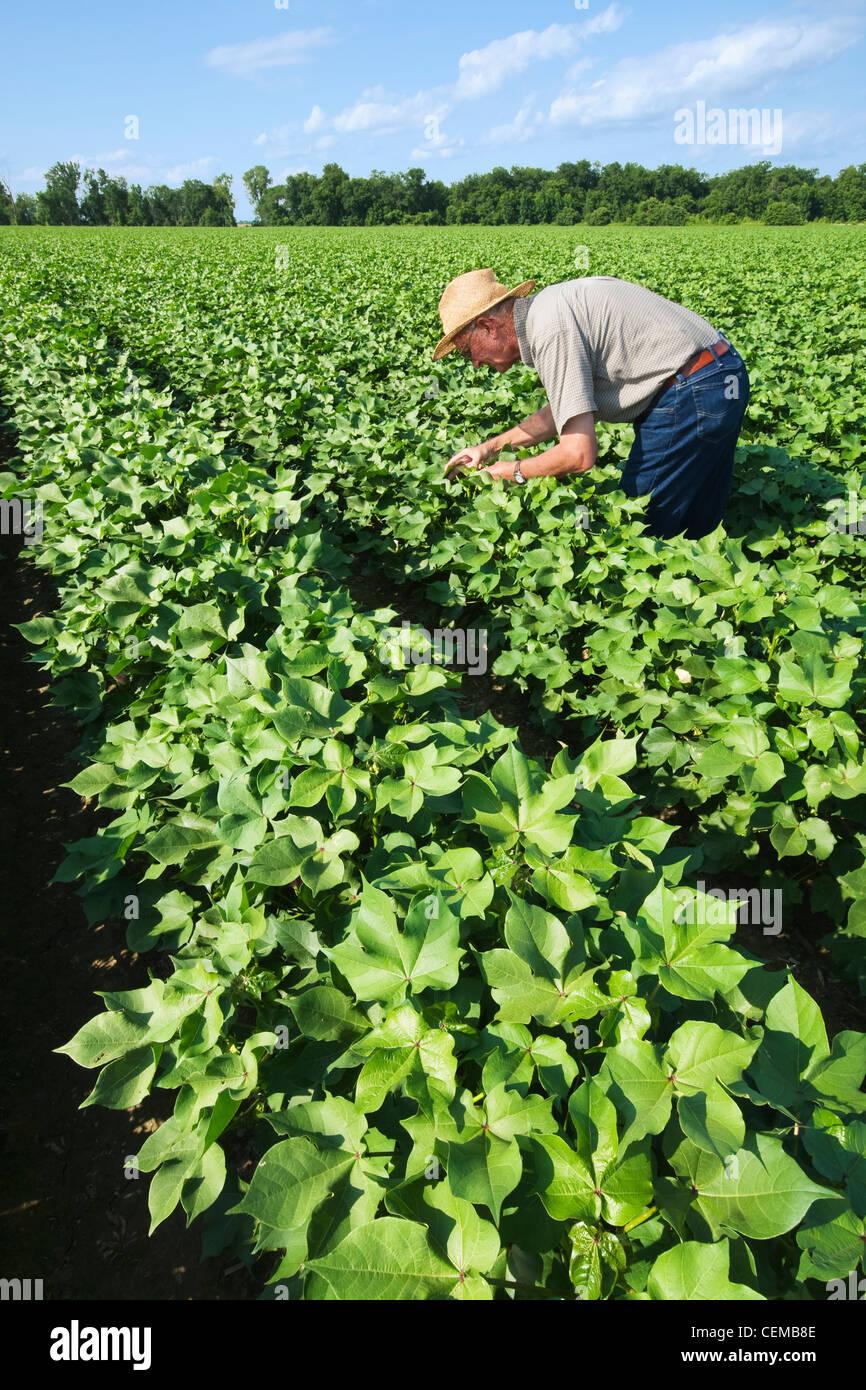 Un consulente di raccolto ispeziona una metà della crescita di raccolto di cotone in advanced boll impostare Immagini Stock